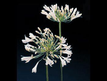 Alba Agapanthaceae