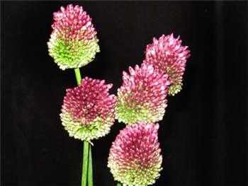 Bullit (Drumstick) Alliaceae