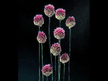 Drumstick Alliaceae