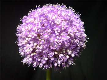 Globemaster Alliaceae