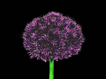 Purple Sensation HFC Alliaceae