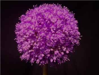 Purple Sensation Alliaceae