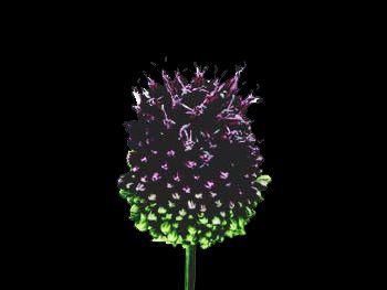 Sphaerocephalon HFC Alliaceae