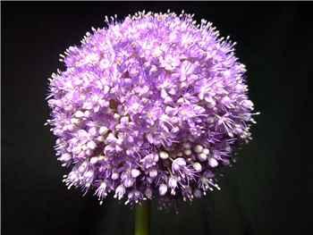 Giganteum Allium