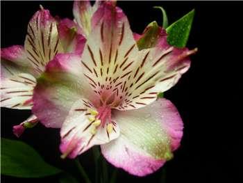 Balance Alstroemeriaceae