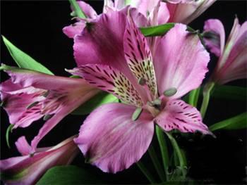 Belvedere Alstroemeriaceae