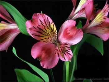 Bodega Alstroemeriaceae