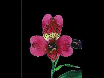 Bonbay HFC Alstroemeriaceae