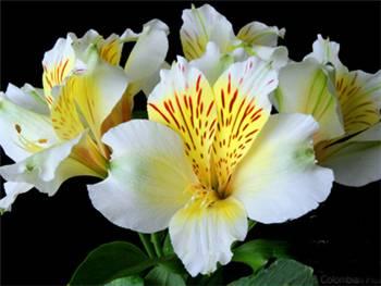 Calgary Alstroemeriaceae