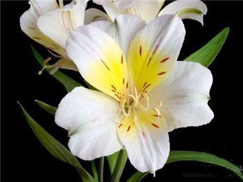 California Alstroemeriaceae