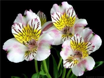 Cordoba Alstroemeriaceae