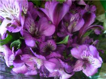 Cote D Azur Alstroemeriaceae