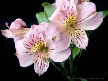 Debora Alstroemeriaceae