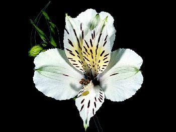 Diamond HFC Alstroemeriaceae
