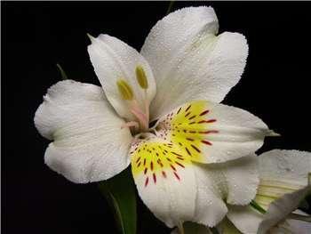 Diamond Alstroemeriaceae