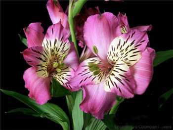 Fiorella Alstroemeriaceae