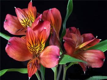 Flamboya Alstroemeriaceae