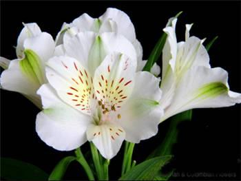 Fuji Alstroemeriaceae