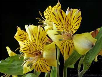 Golden Delight Alstroemeriaceae
