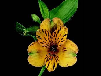 Jamaica HFC Alstroemeriaceae