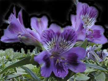 Lavender Alstroemeriaceae