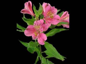 Marina Alstroemeriaceae