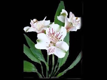 Montana Alstroemeriaceae