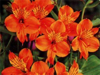 Orange King Alstroemeriaceae