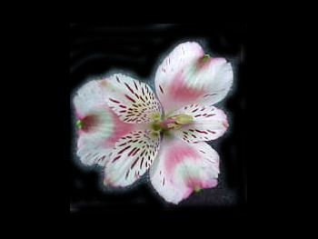Otelo Alstroemeriaceae