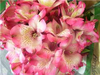 Ovation Alstroemeriaceae