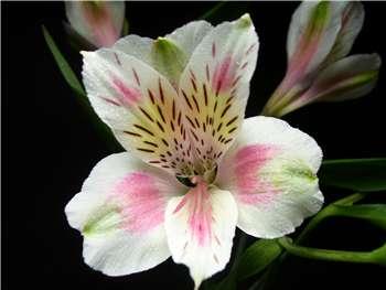 Rebecca Alstroemeriaceae