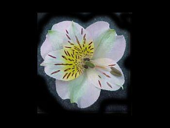 Regina Alstroemeriaceae