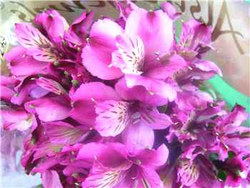 Rembrandt Alstroemeriaceae