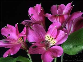 Riegel Alstroemeriaceae