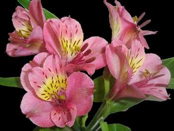Rosita Alstroemeriaceae