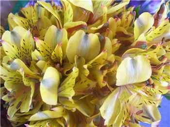 Senna Alstroemeriaceae