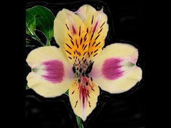 Sunny Rebecca HFC Alstroemeriaceae