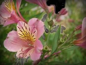 Tall Pink Alstroemeriaceae
