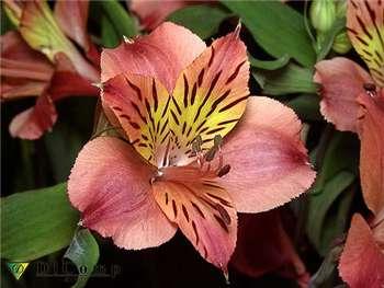 Tiara Alstroemeriaceae