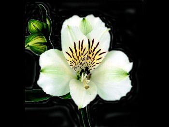 Virginia HFC Alstroemeriaceae