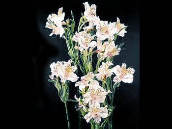 White Alstroemeriaceae