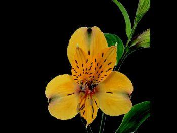 Yellow Dream HFC Alstroemeriaceae