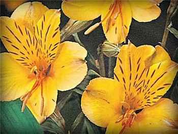 Yellow King Alstroemeriaceae