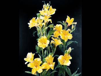 Yellow Alstroemeriaceae