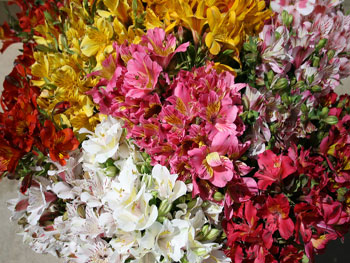 Alstromeria Assorted