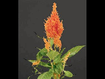 Apricot Brandy HFC Amaranthaceae