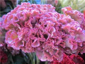 Bombay Light Pink Amaranthaceae