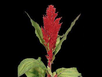Century Rood HFC Amaranthaceae