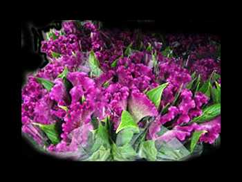 Cristata Purple Amaranthaceae