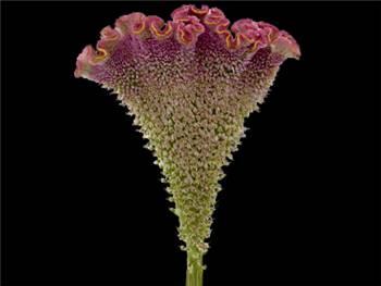 Firosa Amaranthaceae